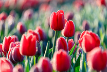 Close Up Of Red Tulips In Bloo...