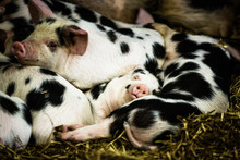 Sleeping Piglets, Gloucestershire, England, UK