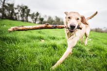 Golden Labrador Carrying Stick