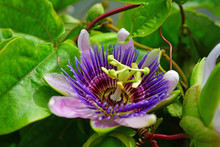 Purple And White Flower Of The Passiflora Caerulea Vine