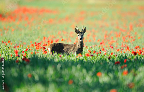 Roe deer in a field of poppies