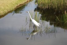 Great White Egret, Bird, White, Yellow Bill, Black Legs And Feet, Pond, Water, Reeds, Reflection