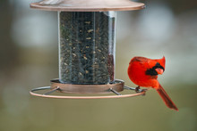 Cardinal Giving A Look At The ...