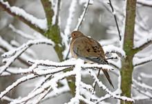 Mourning Dove Perched On Snow Covered Branch