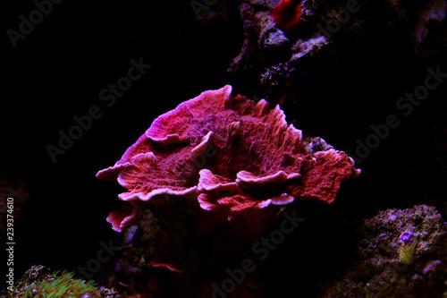 Fototapeta premium Montipora Candy Cap Coral, - (Montipora capricornis)