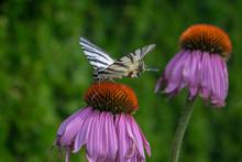 Scarce Swallowtail On Echinace...