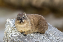 Cape Hyrax In South Africa