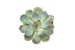 Succulent echeveria orion isolated on white background