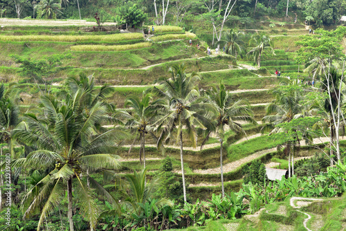 Poster Rijstvelden Tegalalang Rice Terraces is one of the main reasons to visit Ubud in Bali Island, Indonesia