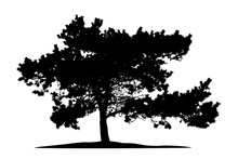 Realistic Pine Tree Silhouette On White Background (Vector Illustration).
