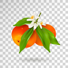Two Citrus Fruits Mandarin Or ...