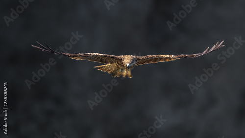 Poster Aigle Black kite flying in a rift