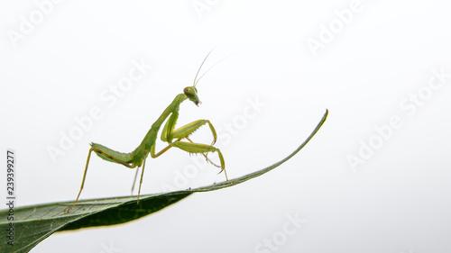Fotografie, Obraz  tiny praying mantis baby on a leaf isolated