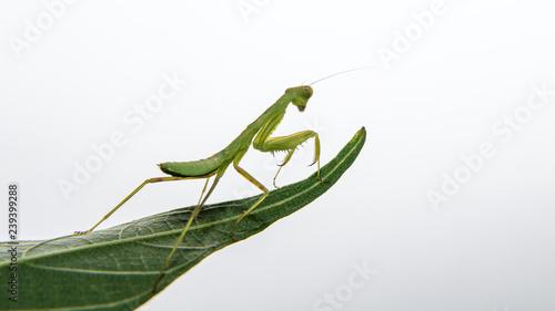 Obraz na plátně  tiny praying mantis baby on a leaf isolated