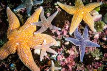 Common Starfish Underwater In ...