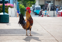 Big Rooster Crowing In The Streets Of Key West, Florida, United States.