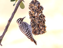 Ladderback Woodpecker (Picoide...