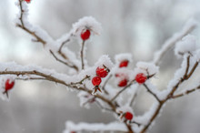 Rime Covered Branch Of Wild Rose With Red Berries, Beauty In Nature