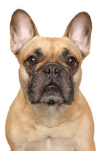 Close-up Of A Young French Bulldog