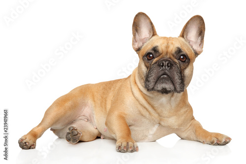 Staande foto Franse bulldog French bulldog lies and stares