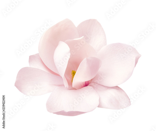 Photo tender pink magnolia flower isolated