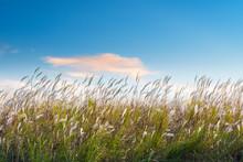 Reed Flowers On Poyang Lake