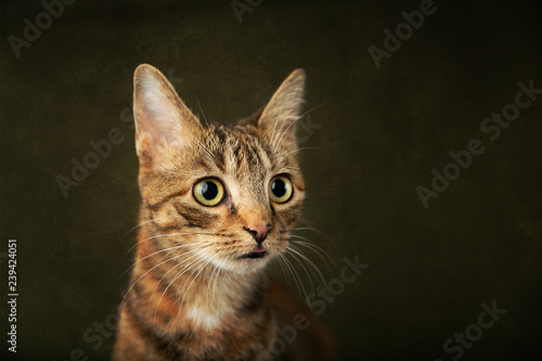 Female Abyssinian Cat