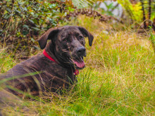 Brown Brindle Dog With Red Collar In Forest