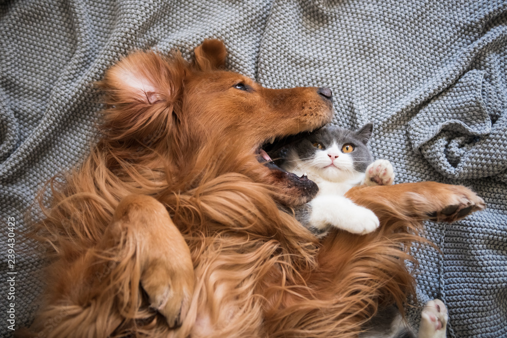 Fototapeta The Golden Hound and the kitten are playing.
