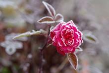 霜が付着した花