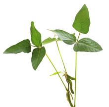 Green Soybean Pods.