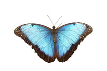 Blue Morpho Butterfly Isolated On White Background