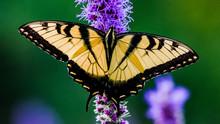 Western Tiger Swallowtail Wide...