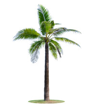 Coconut Tree Or Palm Tree  Isolated On White Background.