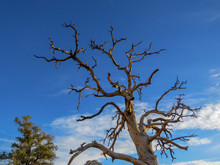 Dead Tree With Multiple Branches Against Blue Sky