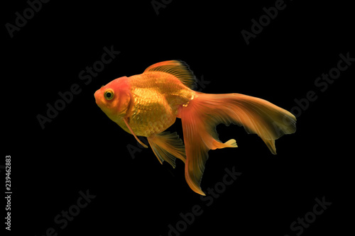 Fotografie, Tablou goldfish isolated on black background.