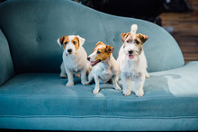 Seria Photo Of Wary Three Dogs Family Jack Russel Terrier Puppies Sitting On A Turquoise Sofa Together Indoor.