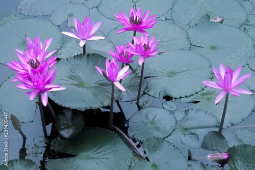 Obraz na plátně laos, luang prabang : pink nympheas