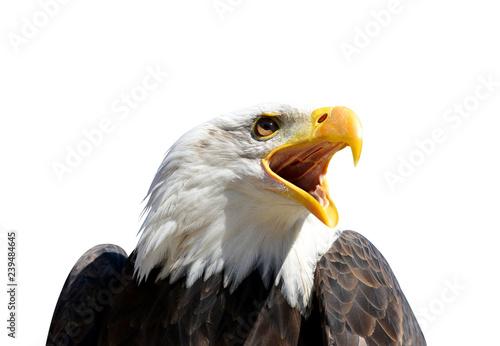Poster Aigle Portrait of a Bald Eagle (Haliaeetus Leucocephalus) isolated on a white background.