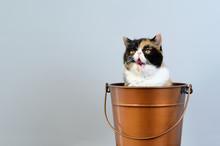 Una Pequeña Gata Marrón, Blanca Y Negra, Dentro De Un Cubo Con Un Fondo Neutro Gris