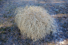Tumbleweed On Cutting Down In ...