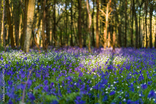 Papiers peints Jardin Bluebell flowers (Hyacinthoides non-scripta) growing in shaded forest in Spring, United Kingdom
