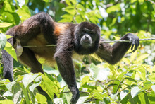 Howler Monkey On A Rope