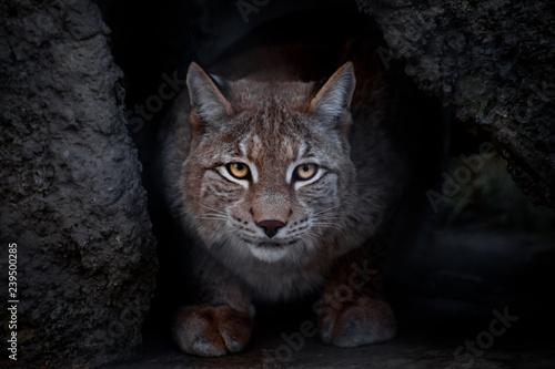 Foto auf Leinwand Luchs glance lynx.