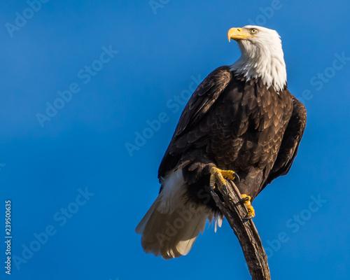 Fond de hotte en verre imprimé Aigle Single bald eagle on a branch