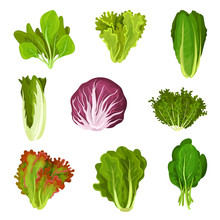 Collection Of Fresh Salad Leaves, Radicchio, Lettuce, Romaine, Kale, Collard, Sorrel, Spinach, Mizuna, Healthy Organic Vegetarian Food Vector Illustration