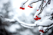 Rowan Berries On The Branches, Covered With Snow.