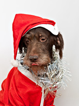 The Dog Breed Is The German Wirehaired Pointer Dressed As Santa Claus With Pink Tongue