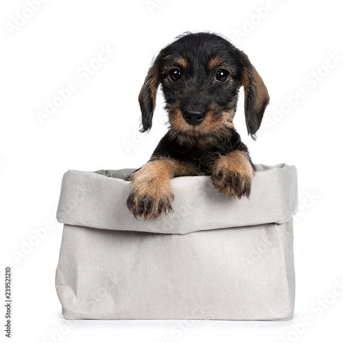 Foto  Sweet black and brown wirehaired dashound puppy sitting front view in grey paper bag, paws on edge looking straight ahead at camera with big dark eyes