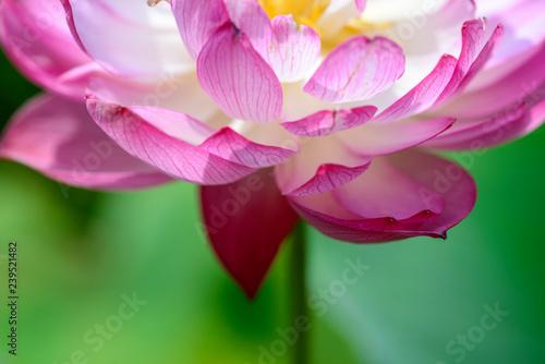 Garden Poster Lotus flower Bloom Lotus Flower Wallpaper